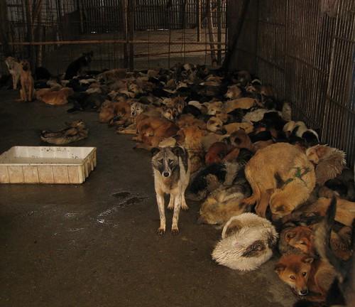 Many dogs in captivity