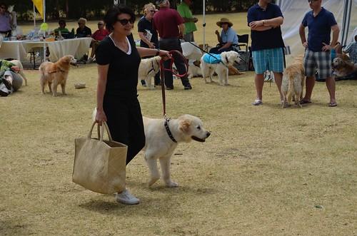 Golden Retriever Rescue Dogs For Adoption Ny