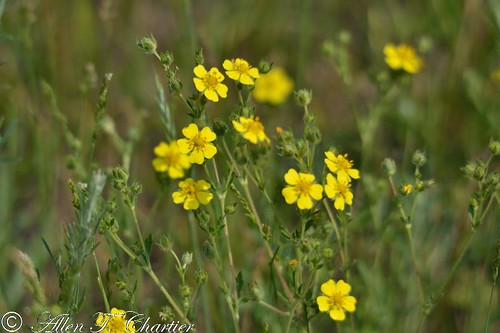 Potentilla recta (Sulphur [Rough-fruited] Cinquefoil)