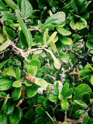Bee gathering honeydew from leaves of Texas wild persimmon bush