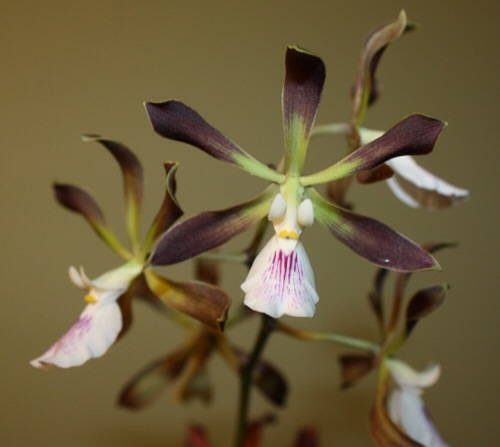 Encyclia Gay Rabbit (cordigera x Gail Nakagaki)