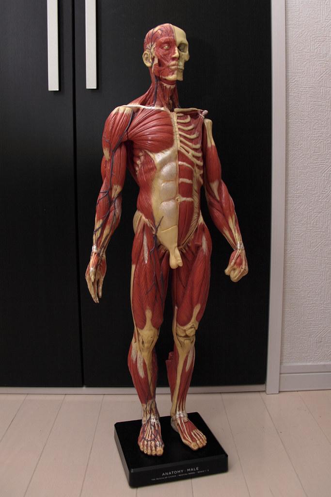 Anatomy Figure Male Ver3 Tomatsuneo30 Flickr