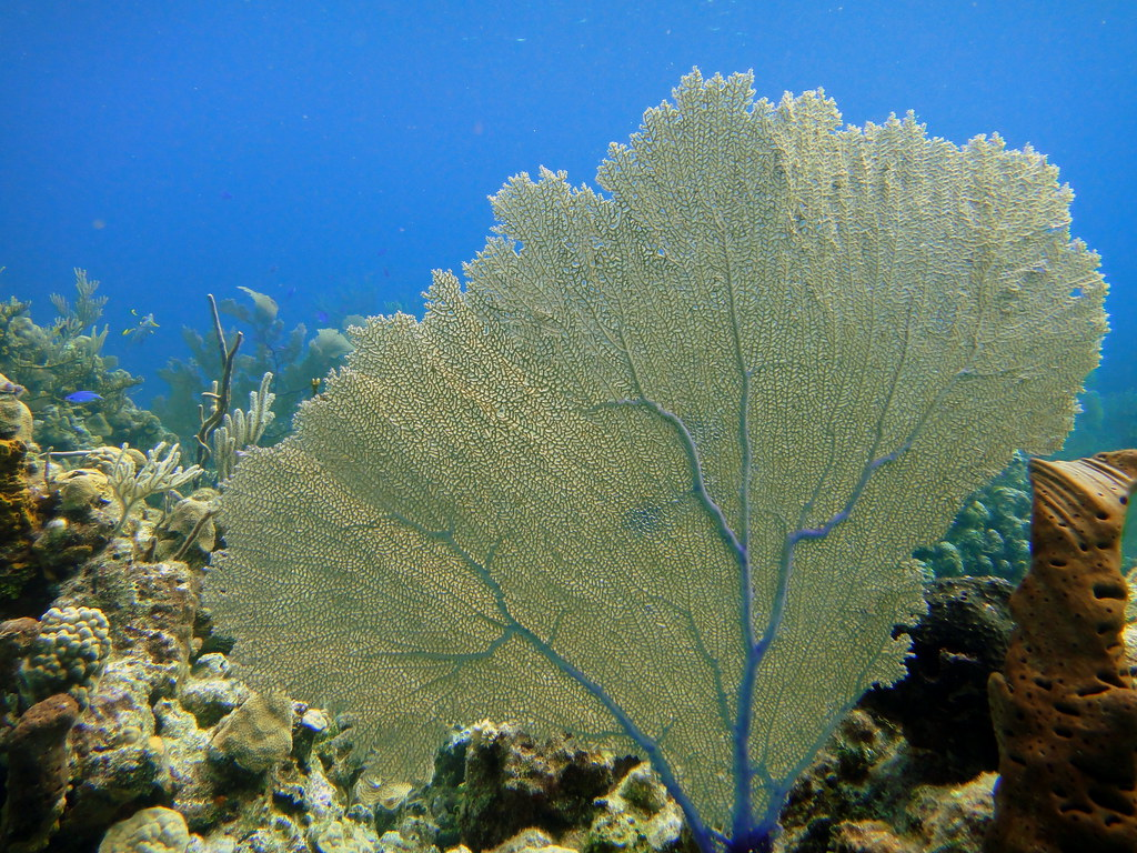 Fan coral on lobster no lobster reef exuma cays bahamas flickr fan coral on lobster no lobster reef exuma cays bahamas by mattk1979 publicscrutiny Choice Image