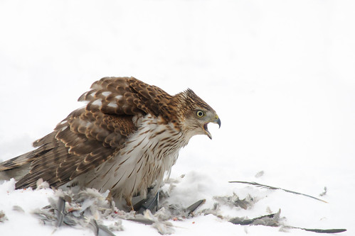 Cooper's Hawk, calling | by Richard Wintle