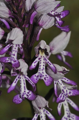 Military Orchid | by markhows