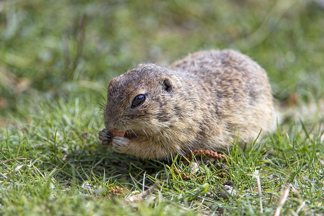 European ground squirrel eating in the grass