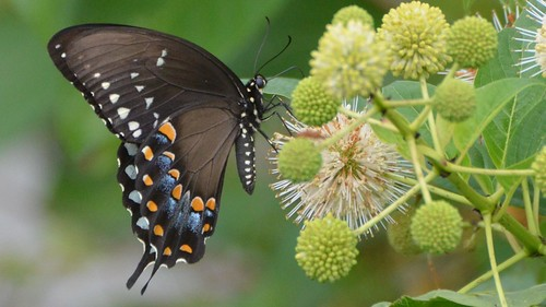 Spicebush Swallowtail butterfly on native plants