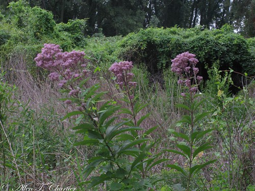 Eutrochium maculatum (Joe-Pye Weed)