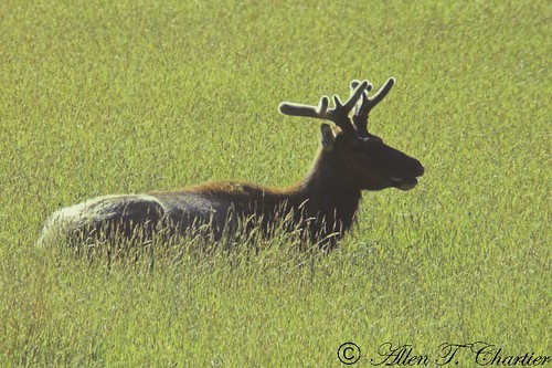 Cervus elaphus (American Elk)