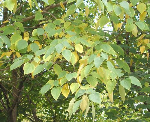 Broussonetia papyrifera foliage