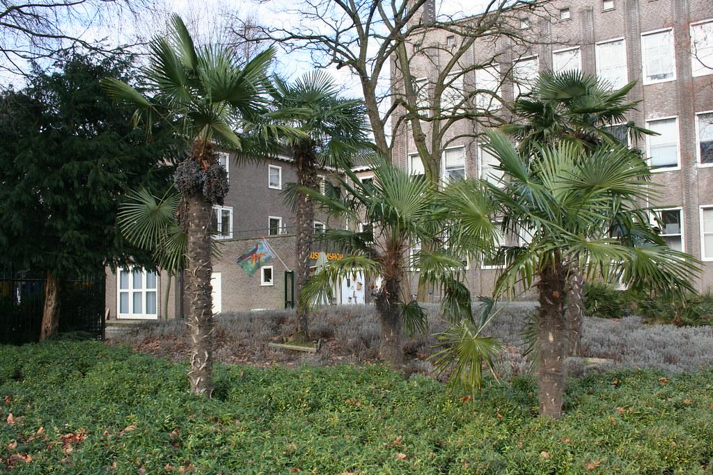 Botanische Tuin Delft : Trachycarpus fortunei botanische tuin delft 1 trachycarpu2026 flickr