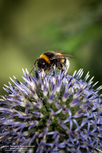Another Bumble bee on Globe thistle | by The Autodidact Photographer