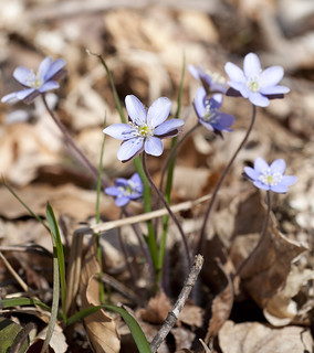 Hepatica | by I am Jacques Strappe