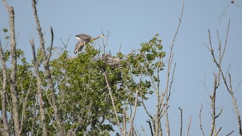 Heron Rookery at Lake Connestee-001