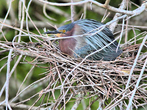 Green Heron incubating nest 17.5 HDR 20160525