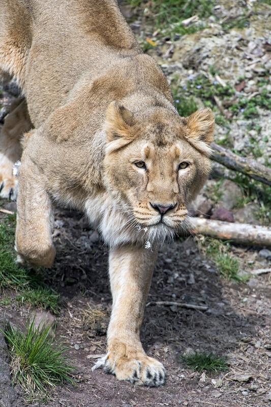 Kalika walking after eating