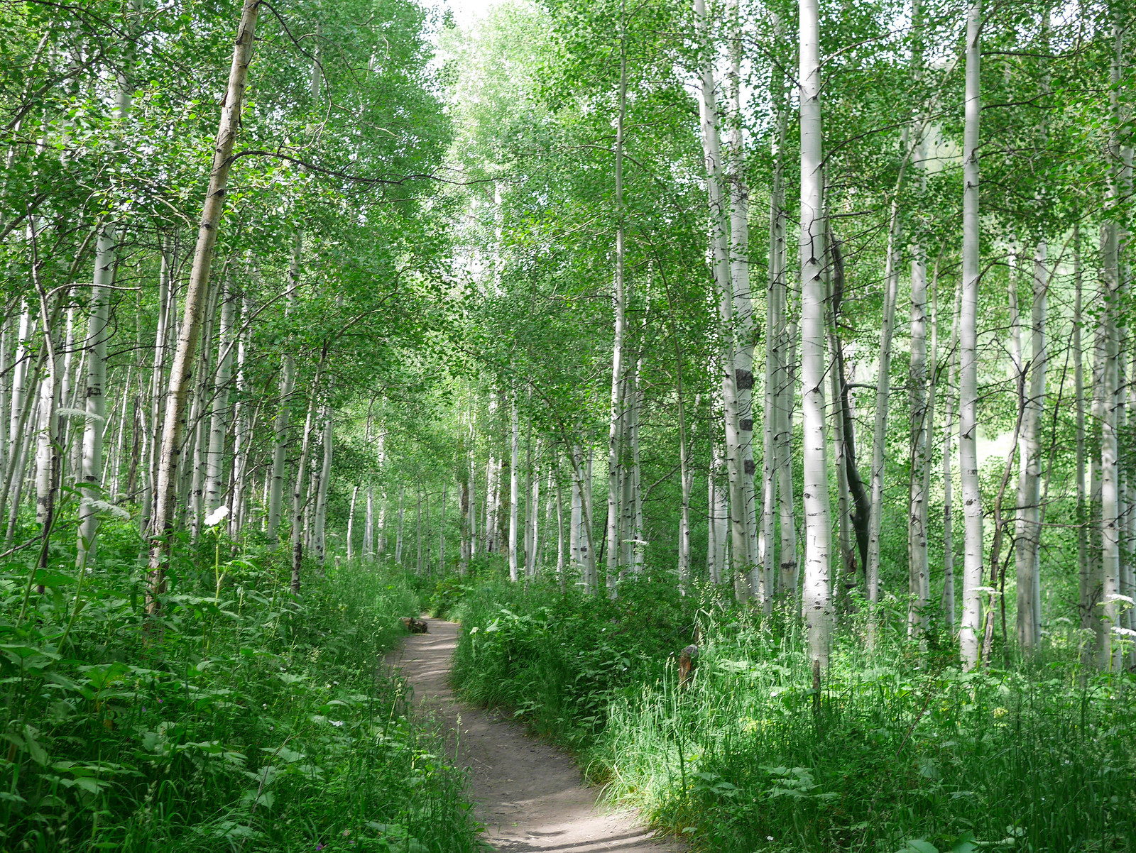 Aspen forest on the Silver Lake Trail
