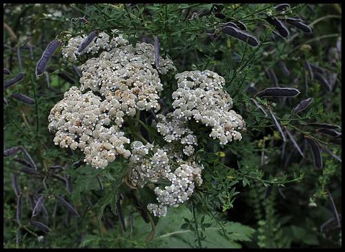 Tanacetum macrophyllum (2) - Copie
