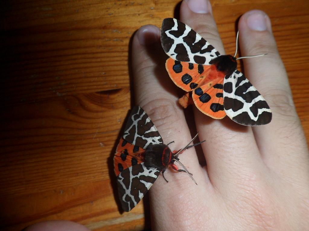 Garden tiger moth (Arctia caja)   The bright colours of this…   Flickr