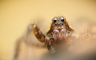Spotted Wolf Spider | by MentalBloc16