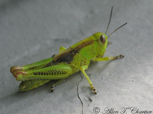 Melanoplus differentialis (Differential Grasshopper)