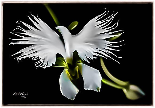 orchidee habenaria radiata