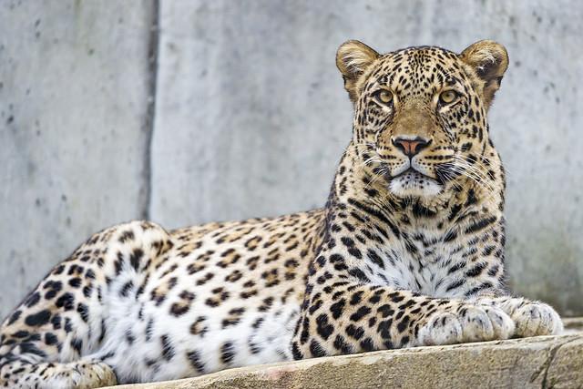 Lying male Persian leopard