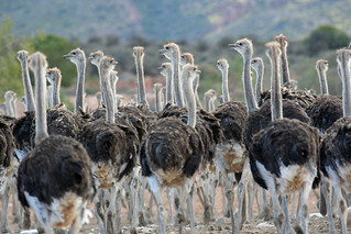 Karoo Ostriches | by South African Tourism