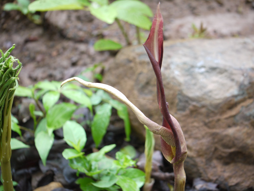 amorphophallus commutatus A commutatus var wayanadensis (acw) is a recently identified variety of amorphophallus species from the hilly regions of western ghats, india (sivadasan and jaleel, 2002) it has been commonly used in various cuisines and also used by traditional practitioners of wayanad for various diseases like piles, tumors and stomach disorders.