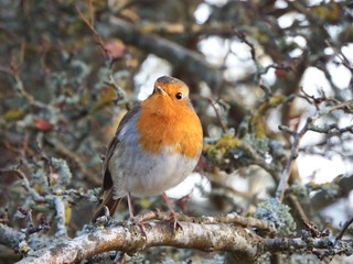 Robin | by The BFG 1944
