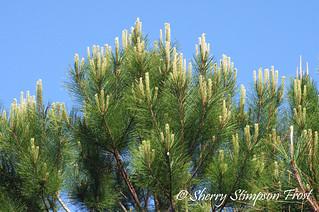 southern longleaf pine alabama state tree fairhope al