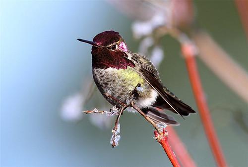 Calypte anna ♂ (Anna's Hummingbird)