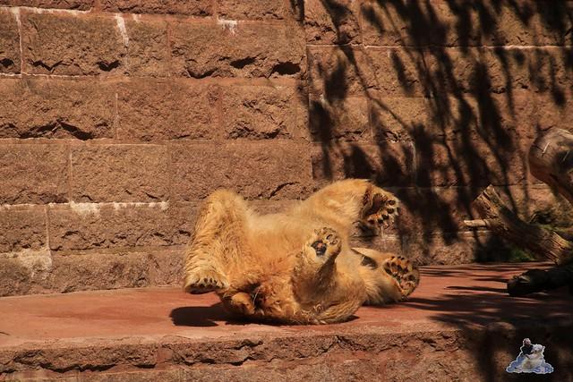 Eisbär Fiete im Zoo Rostock 04.06.2016   0234