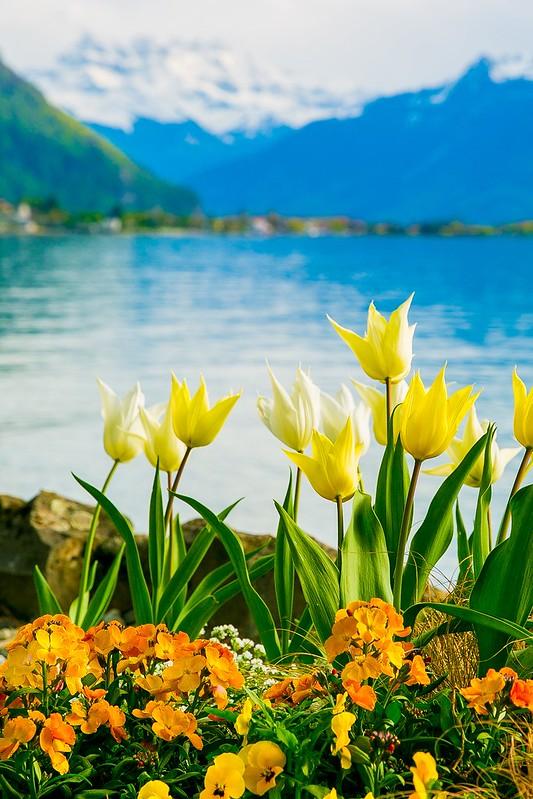 tulips, flowers, Lake Geneva, the Alps