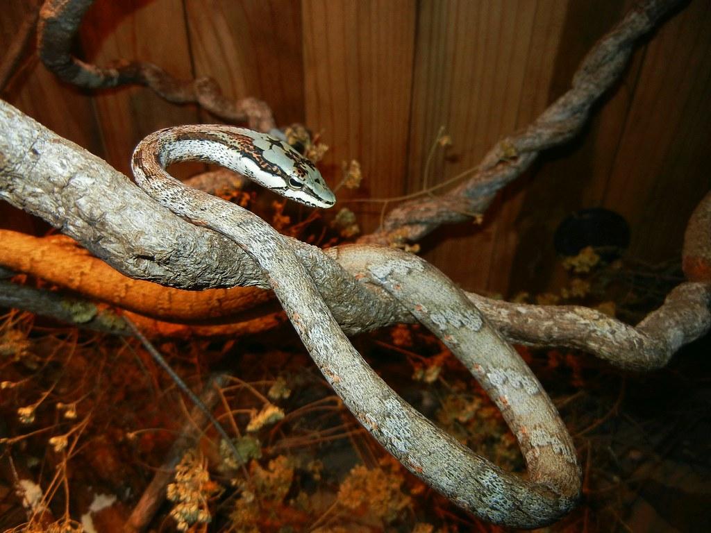Resultado de imagem para Twig snake