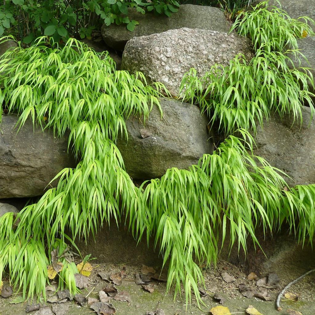 ... WI, Rotary Botanical Gardens, Japanese Garden, Hakone Grass  (Hakonechloa Macra