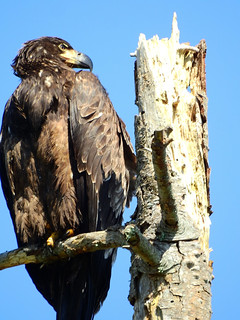 april 7 2016 12:36 - young Eagle near Little Tribune Bay | by boonibarb