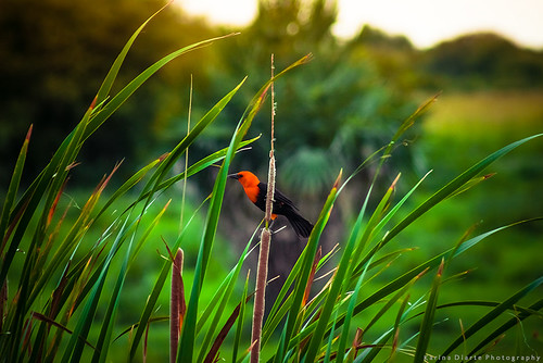 Federal / Scarlet-headed blackbird | by Karina Diarte de Maidana