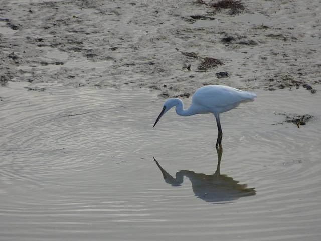 Sortie ornithologique à Deauville