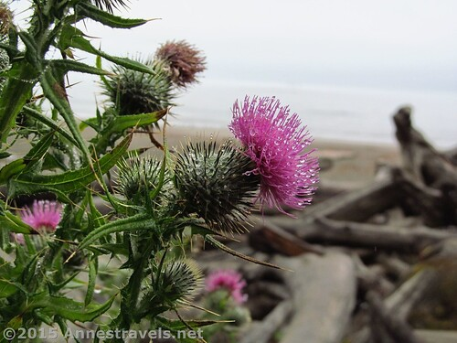 Thistle on Third Beach, Olympic National Park, Washington