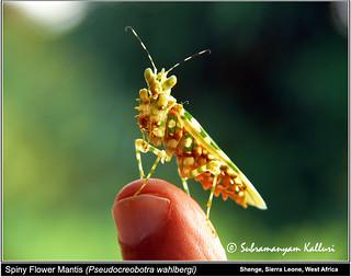 Spiny praying mantis-4 Sierra Leone