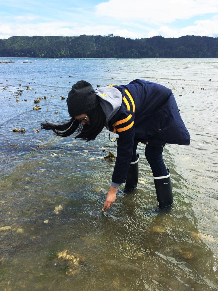 hama hama oyster picking