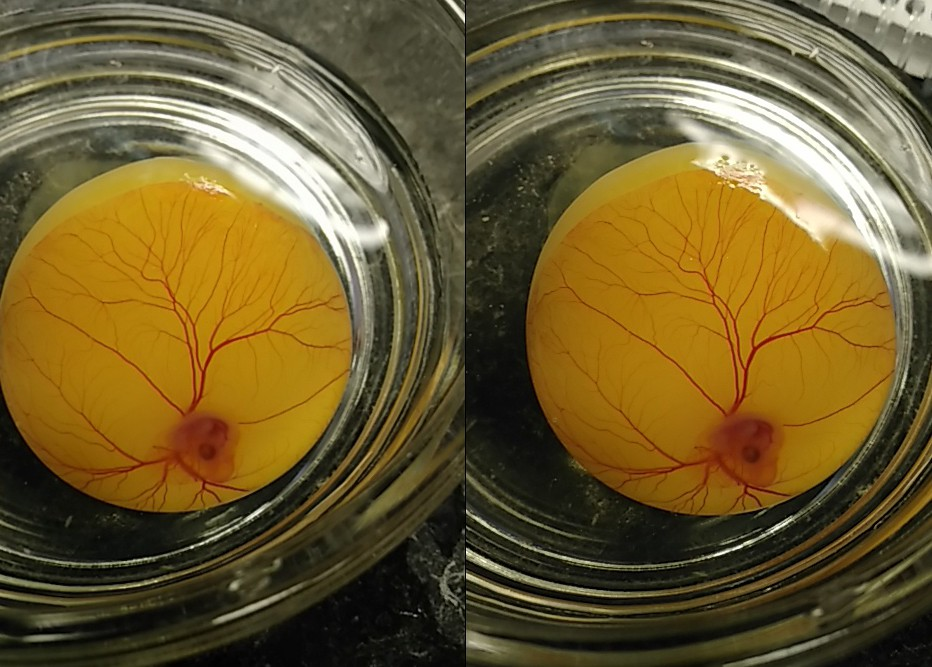 96 Hour Fertilized Chicken Egg Embryo 3D Cross View | Flickr