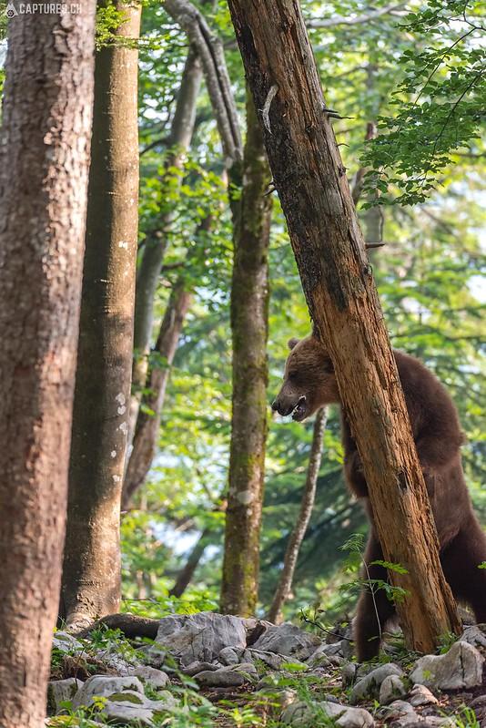 Brown bear 15 - Slovenia