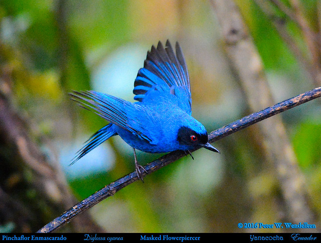 MASKED FLOWERPIERCER Diglossa cyanea Taking Flight at the Yanacocha Reserve in ECUADOR. Photo by Peter Wendelken.