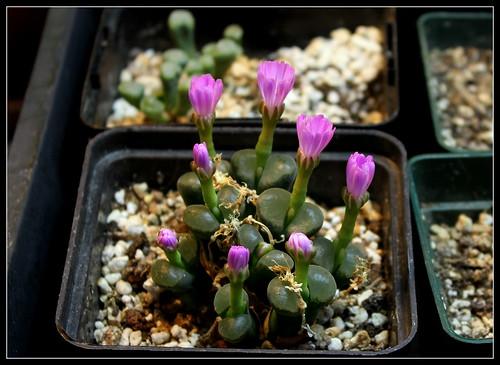 Ophtalmophyllum (4)