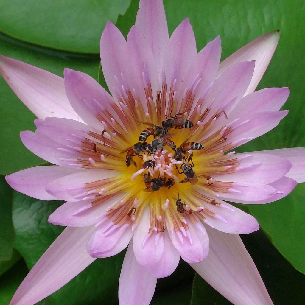 Teeming bees apis florea on a lily flower phra borom m flickr bees apis florea on a lily flower phra borom maharatchawang izmirmasajfo