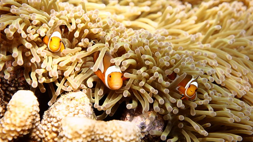 Anemonfish - Amphiprion ocellaris 3 | by Piscis Colonia