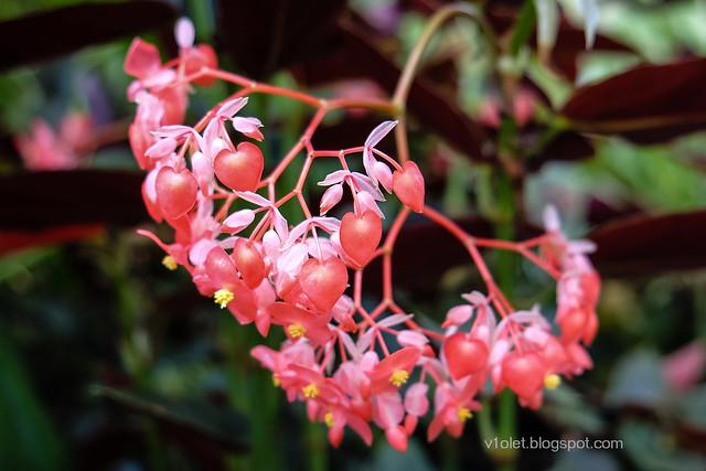 Begonia3-0301crw