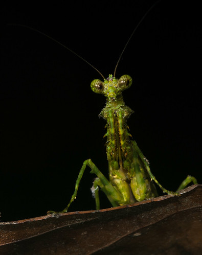 Green Mantid | by antonsrkn